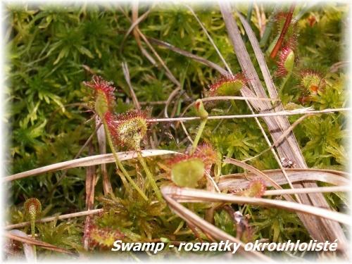 Swamp - rosnatky