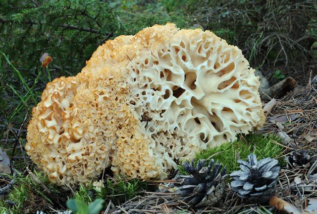 грибы заячья капуста рецепты