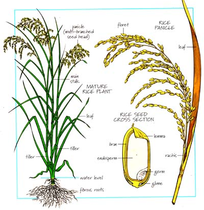 well labelled diagram of rice plant a well labelled diagram of inside the human heart rice plant, rice and plants on pinterest